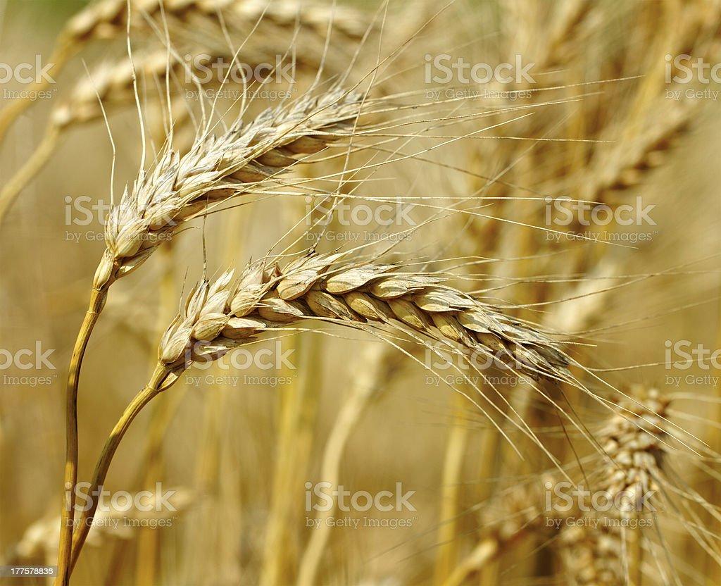 Ready wheat. royalty-free stock photo