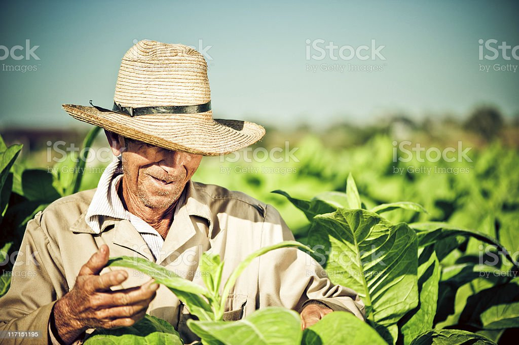 Real Cuban farmer at a tobacco plantation stock photo