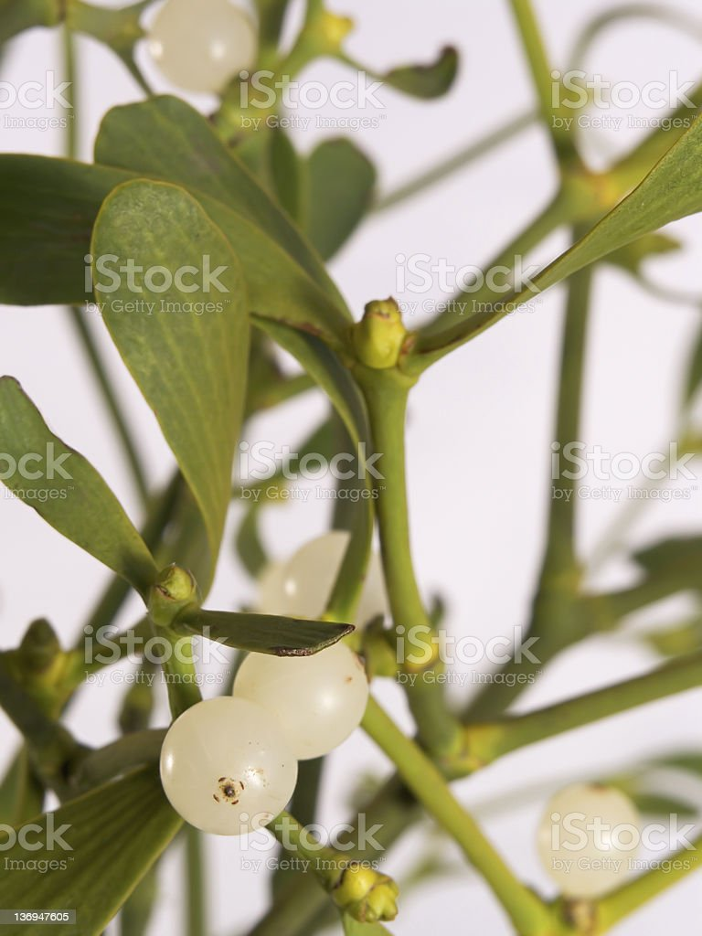 Real Fresh Mistletoe royalty-free stock photo