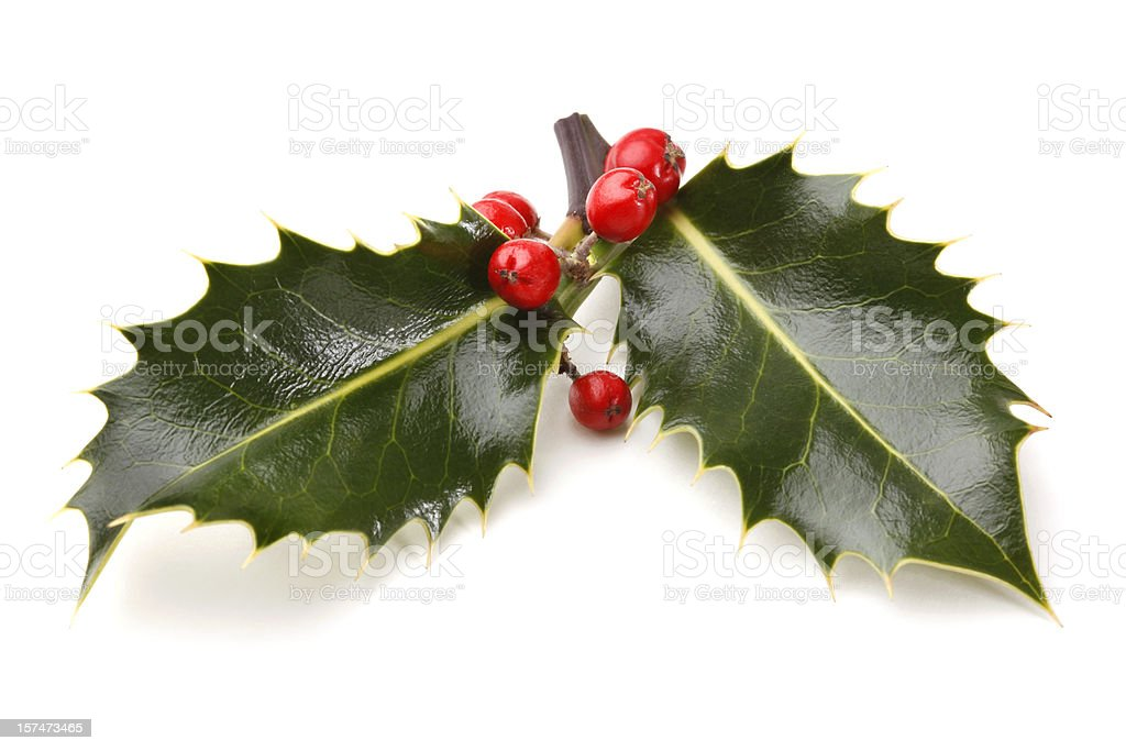 Real Holly Sprig with Berries stock photo