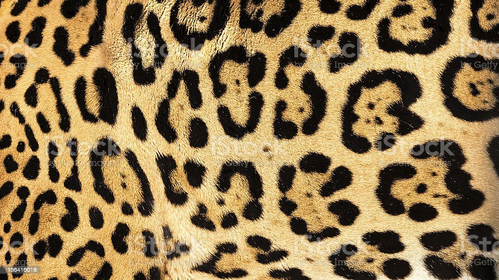 Real Live Jaguar Skin Fur Texture Background stock photo