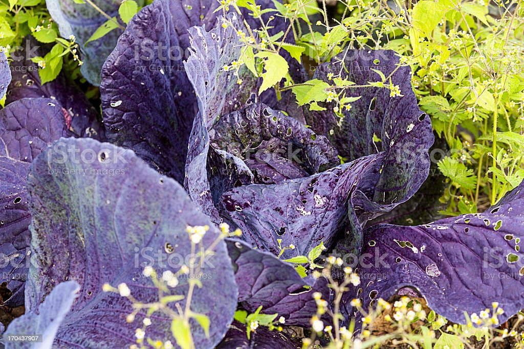 Real organic red cabbage stock photo