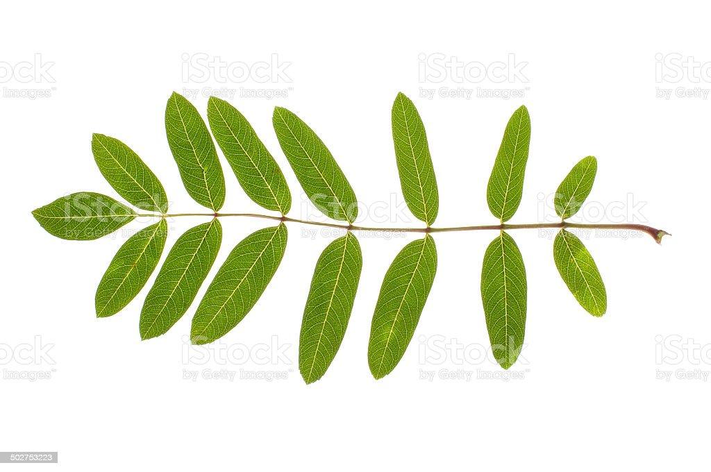 Real rowan leaf isolated stock photo