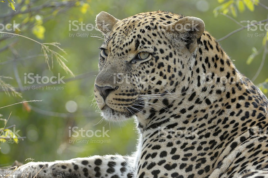 Real tired leopard watching our vehicle royalty-free stock photo