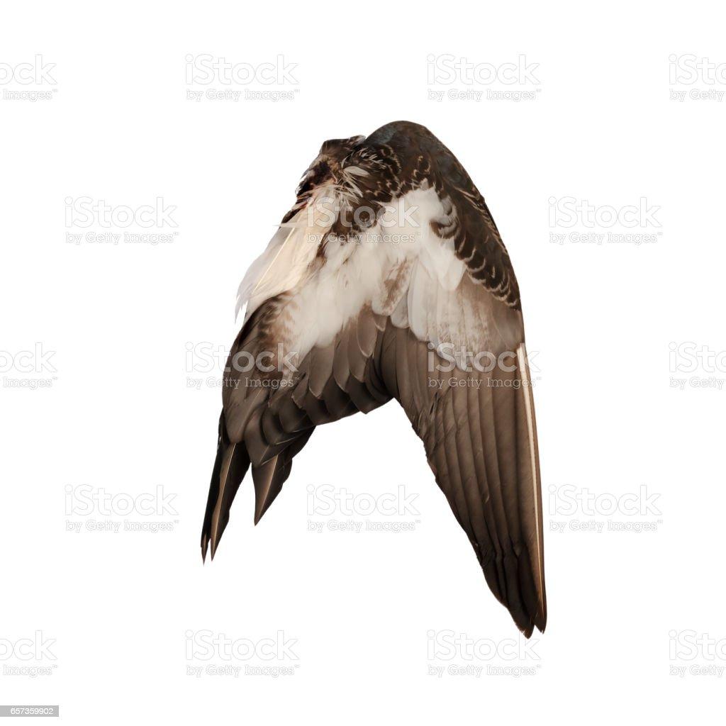 Real wild duck bird wing angel brown white background stock photo