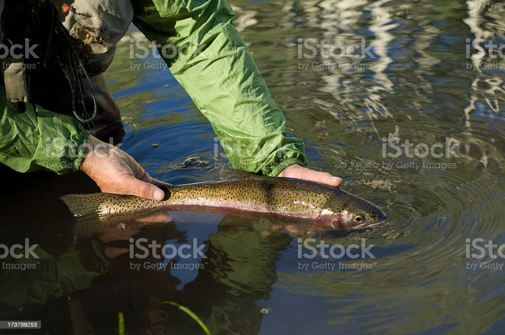 Realeasing a big Rainbow trout royalty-free stock photo