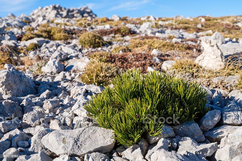 Really small dwarf pine stock photo