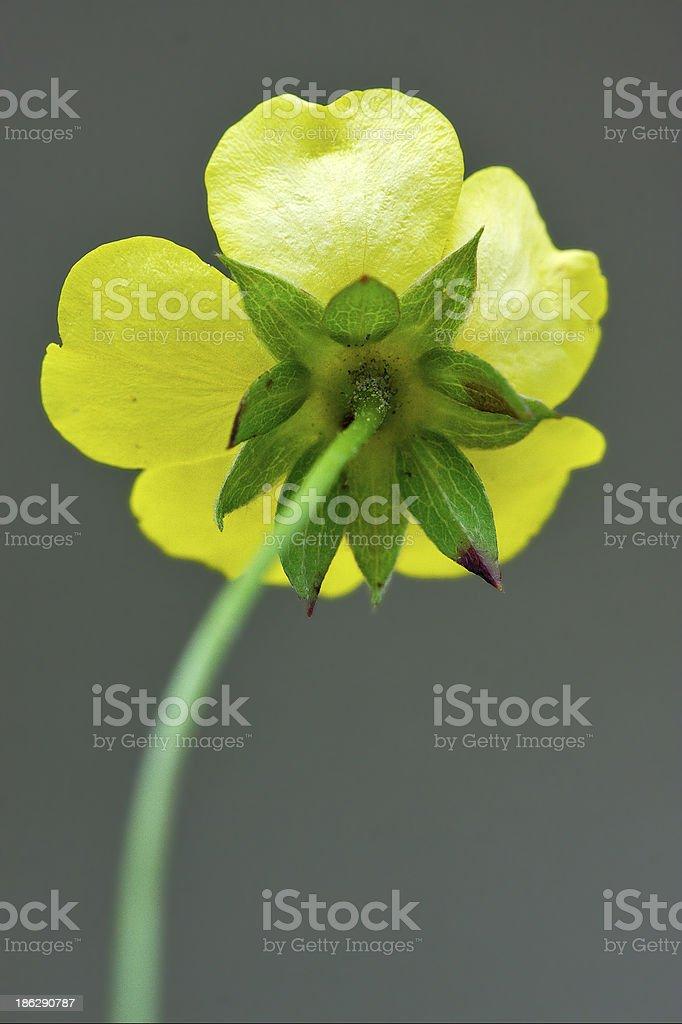 rear macro close up of a yellow geum urbanum rosacee royalty-free stock photo