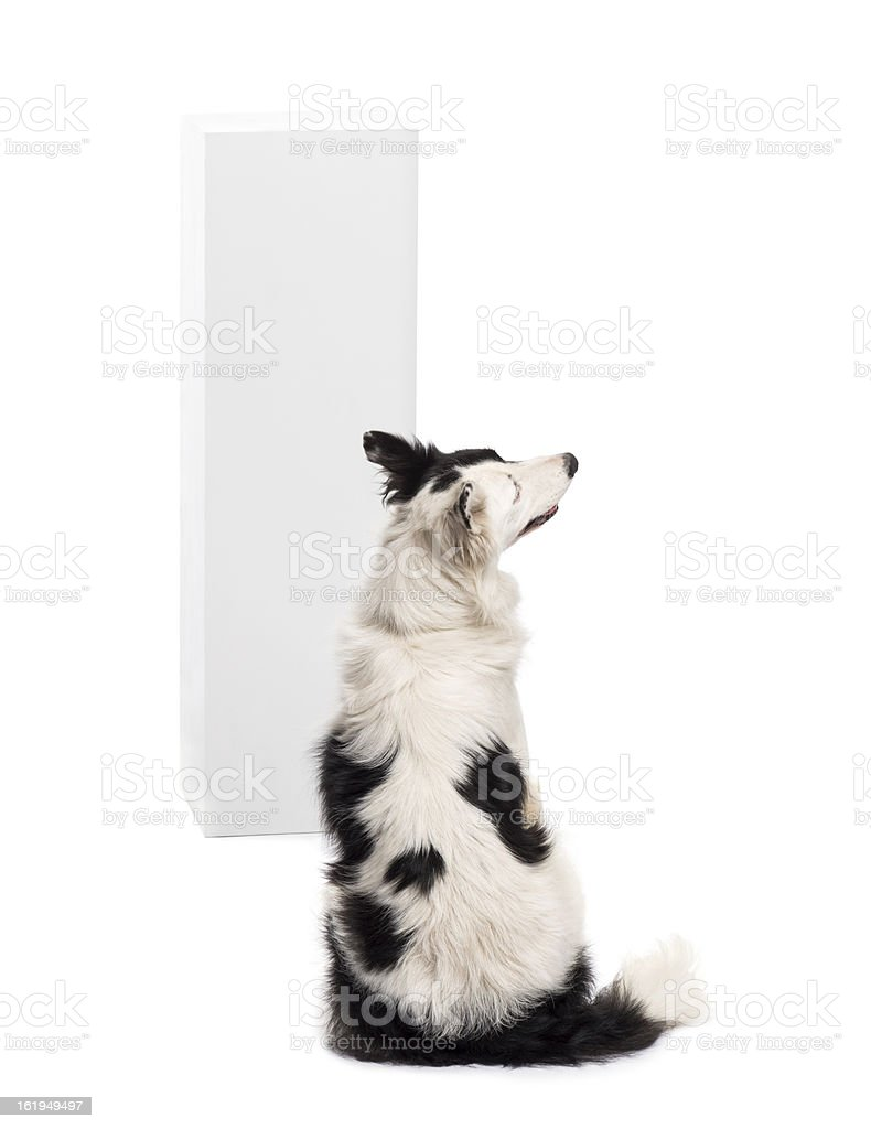 Rear view of a Border Collie sitting royalty-free stock photo