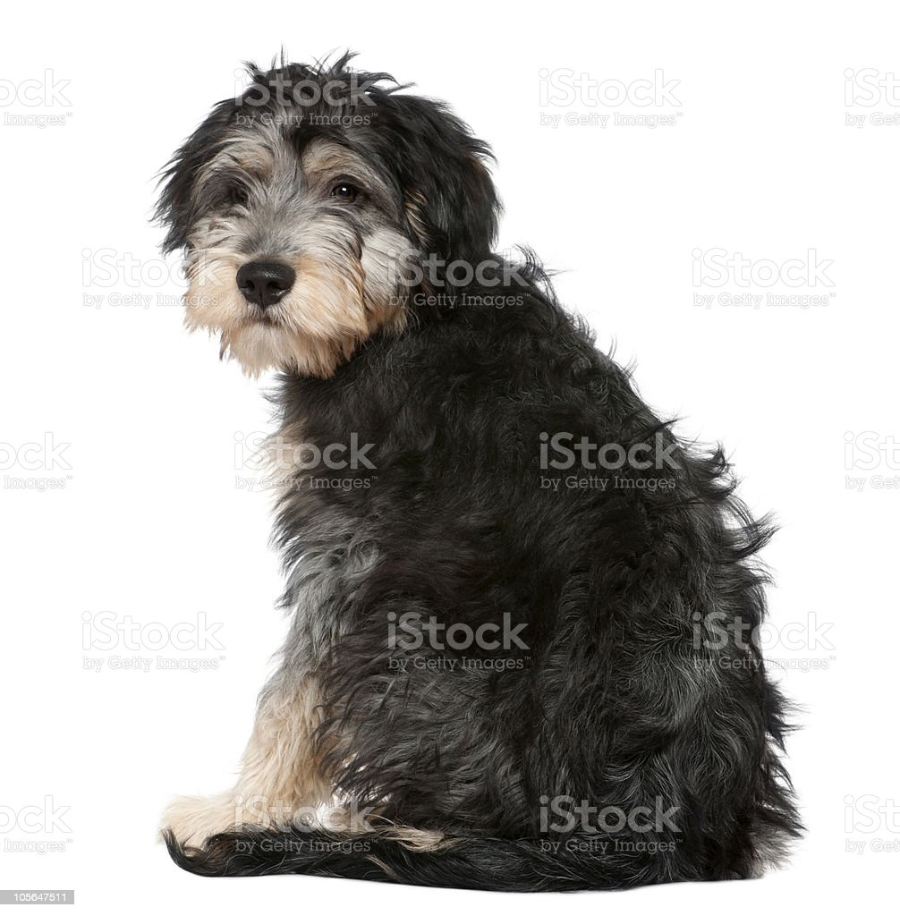 Rear view of a Crossbreed looking at the camera, sitting. royalty-free stock photo