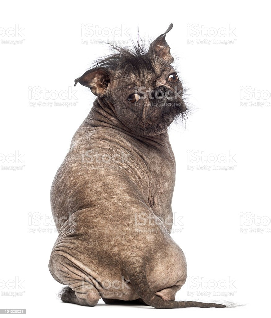 Rear view of a Hairless Mixed-breed dog sitting stock photo
