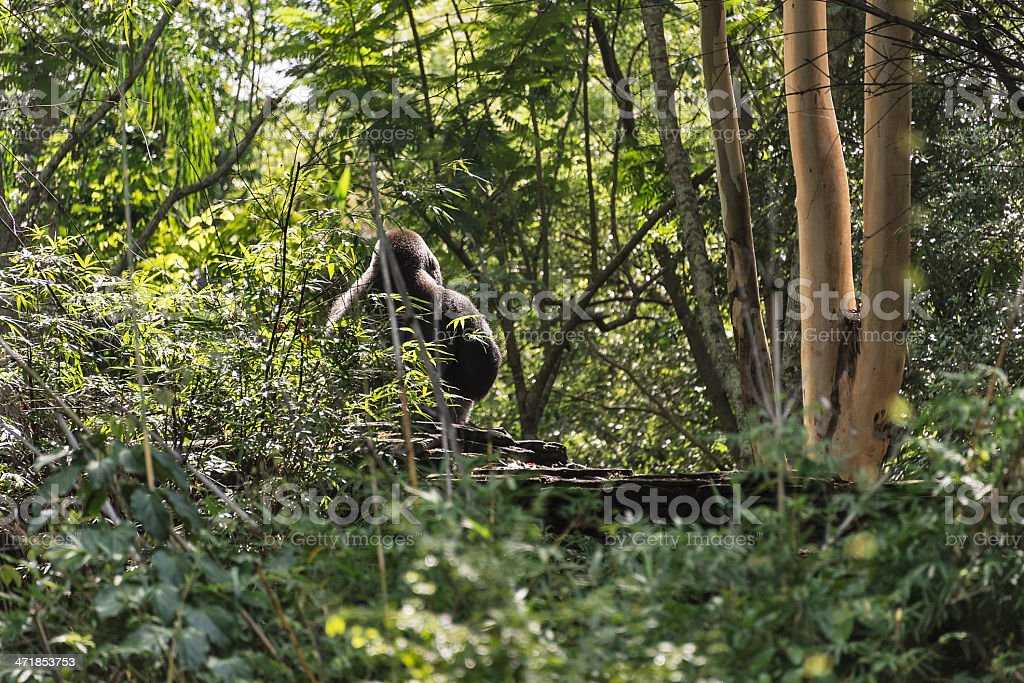 Rear view of a large western lowland gorilla in a forest stock photo