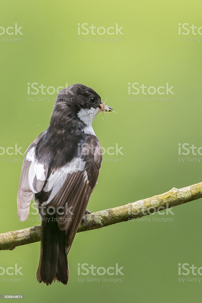 Rear view of a male pied flycatcher in the rain stock photo
