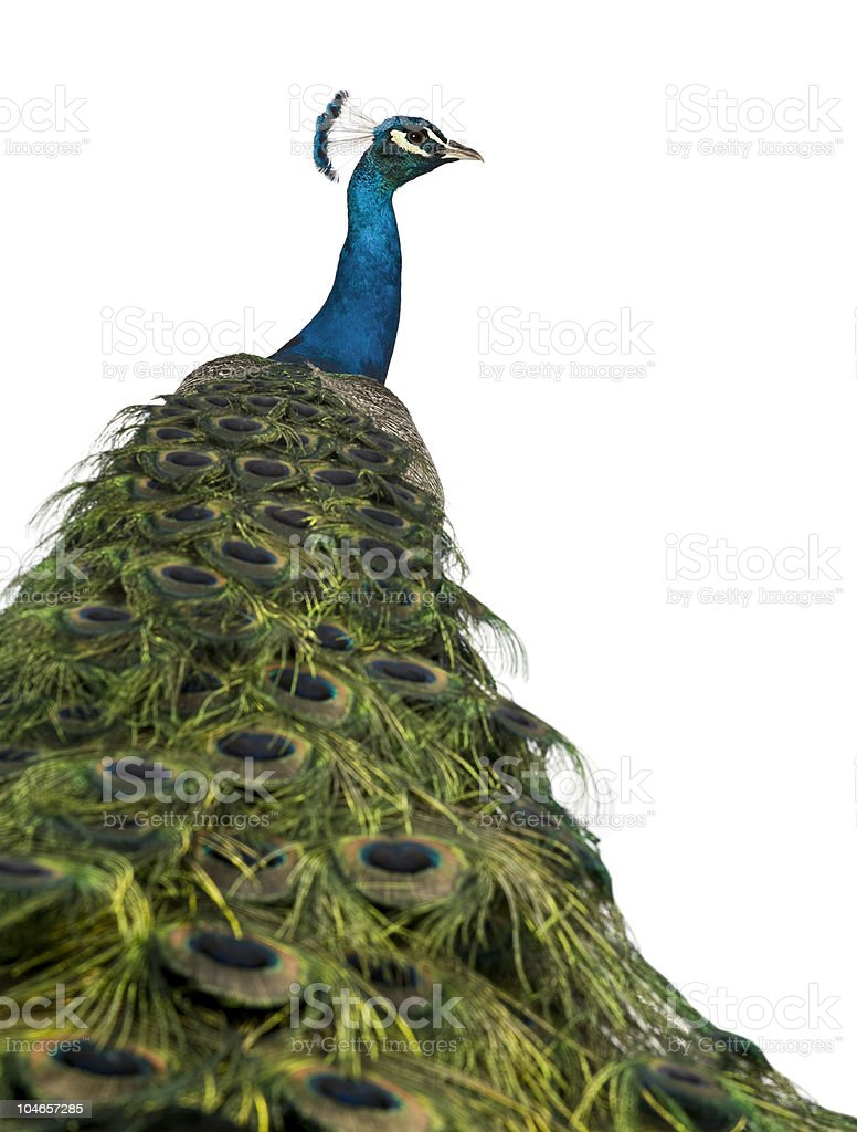 Rear view of a peacock, looking away. stock photo