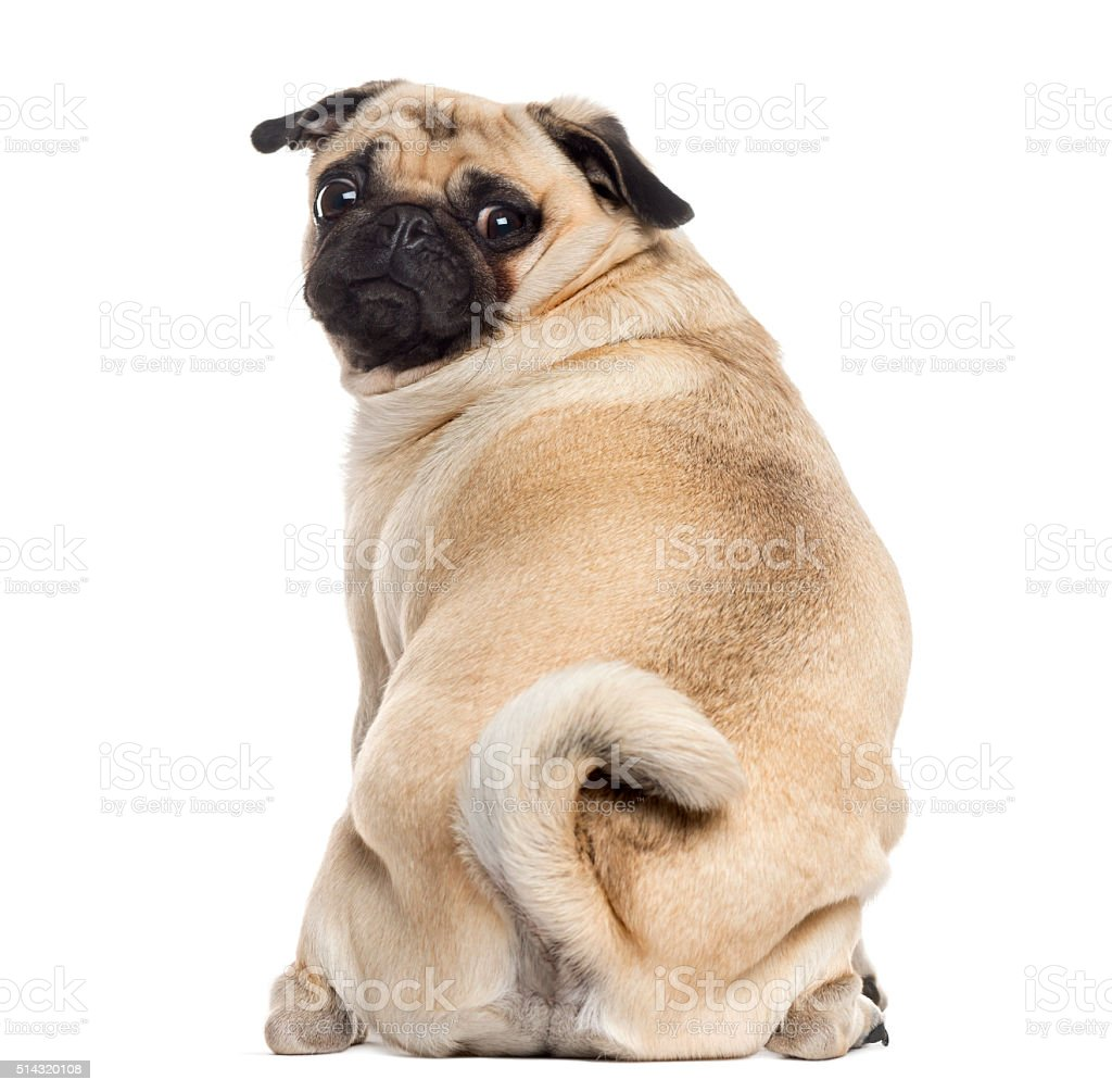Rear view of a Pug isolated on white stock photo