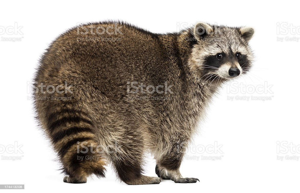 Rear view of a Racoon, Procyon Iotor, standing, isolated stock photo