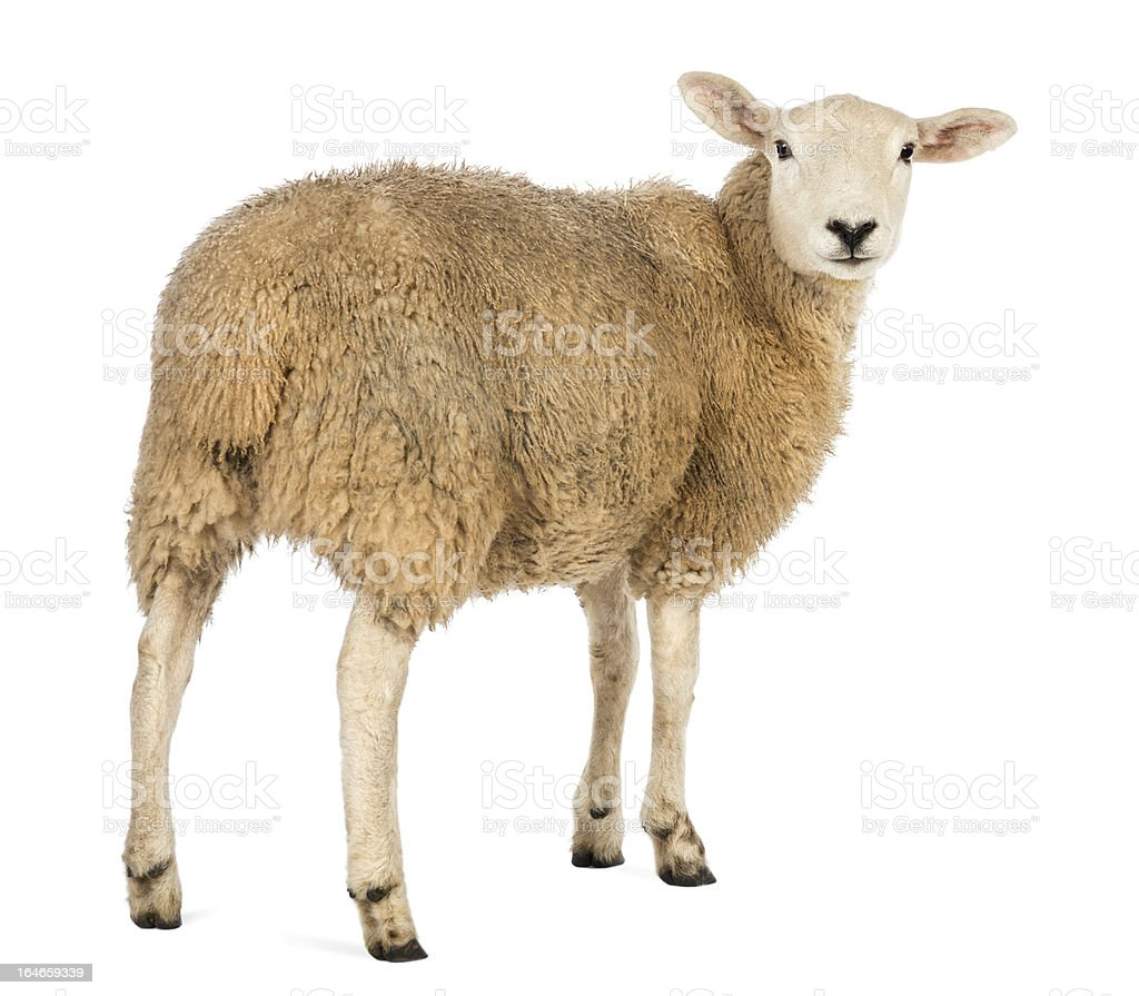 Rear view of a Sheep looking back against white background stock photo
