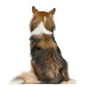Rear view of a Shetland Sheepdog sitting