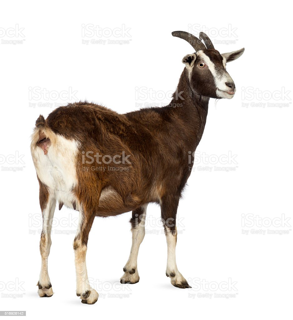 Rear view of a Toggenburg goat looking away stock photo