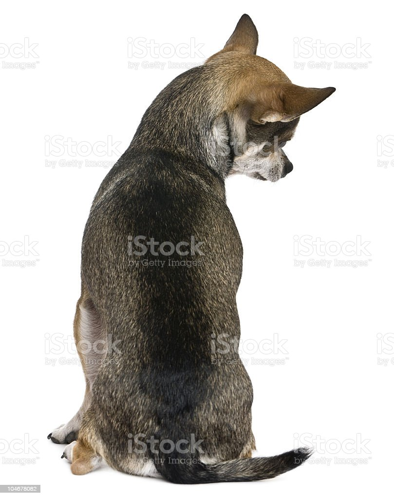 Rear view of Chihuahua, sitting and looking down. stock photo