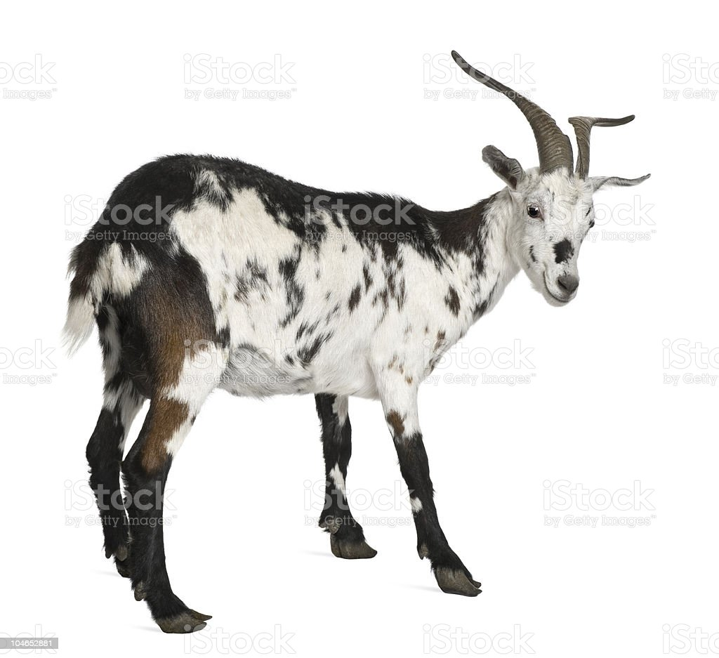 Rear view of Female Rove goat, standing and looking back. stock photo