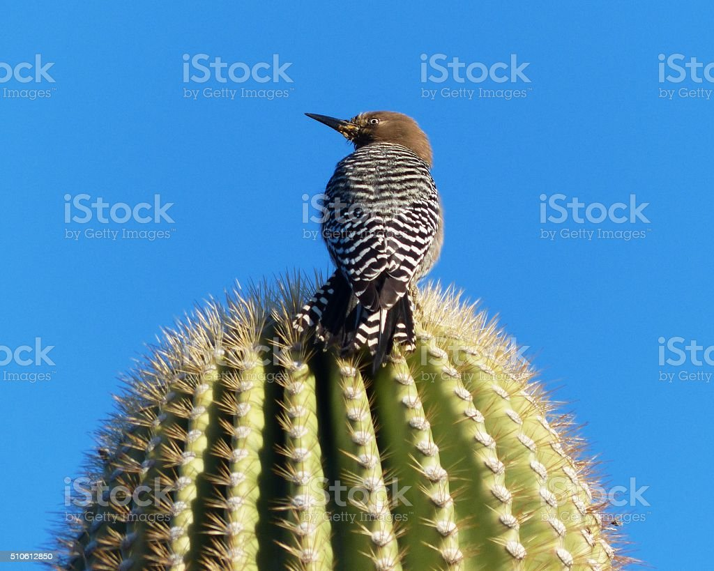 Rear View of Gila Woodpecker Perched on Cactus stock photo