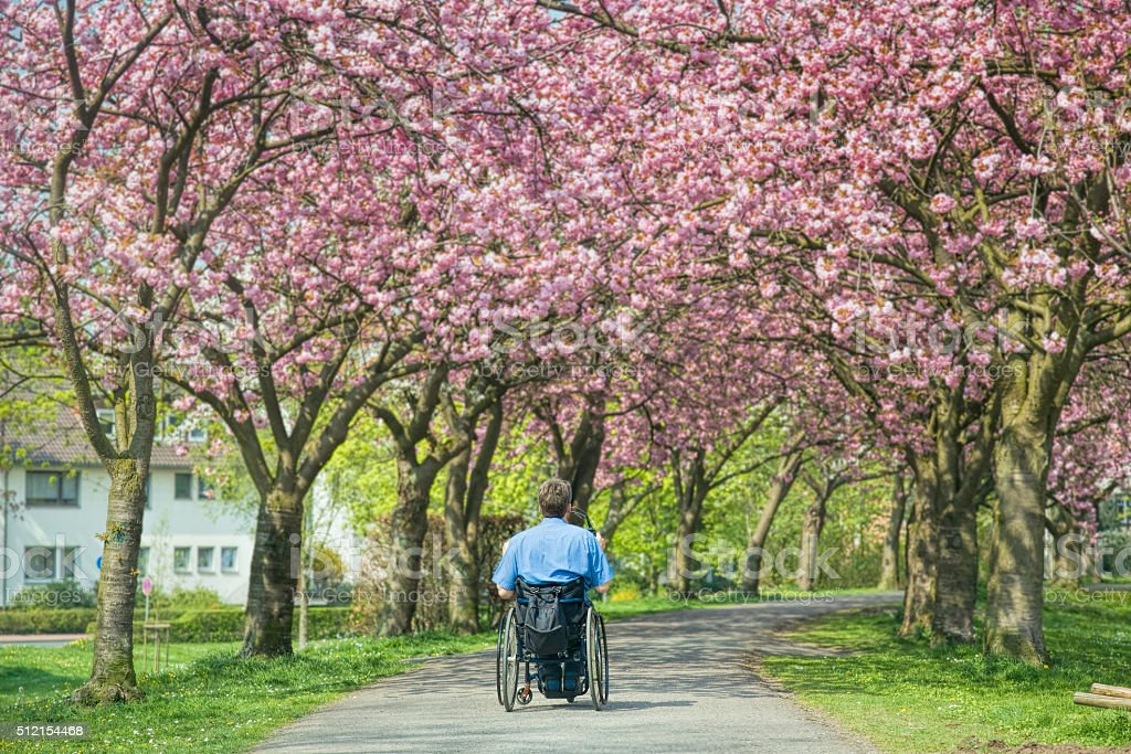 Rear view of man in wheelchair under blooming cherry trees stock photo