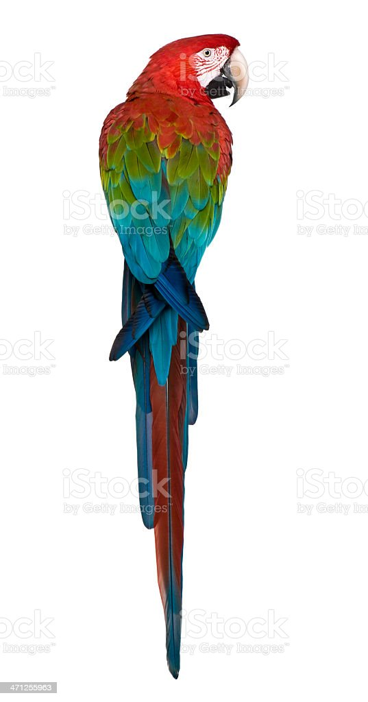 Rear view of Red-and-green Macaw perching. stock photo
