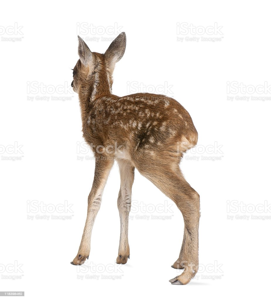 Rear view of Roe Deer Fawn standing against white background stock photo