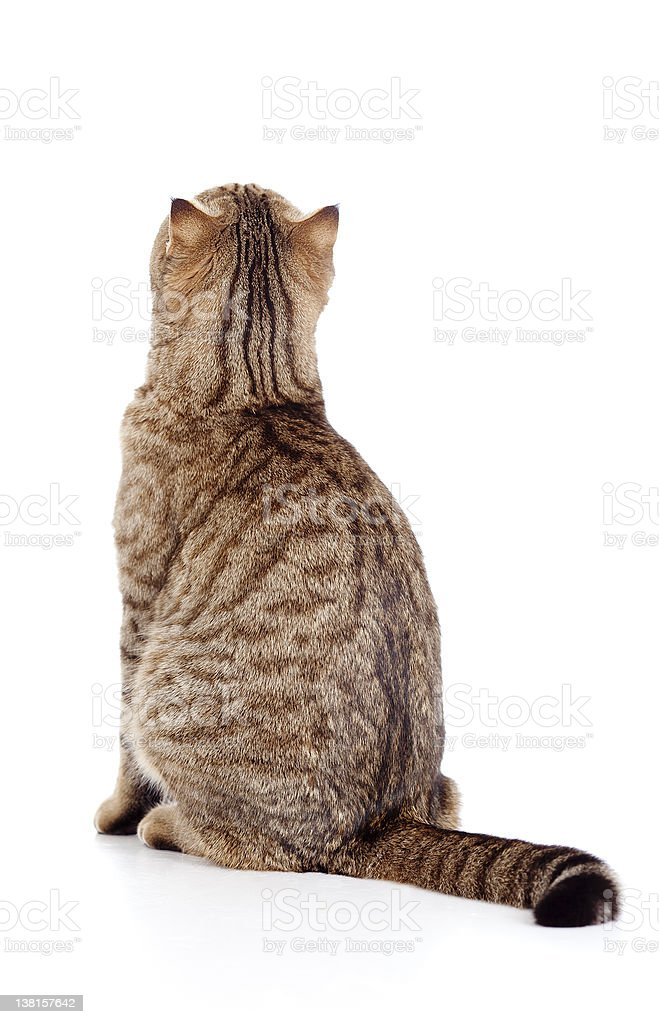 rear view of tabby-cat stock photo