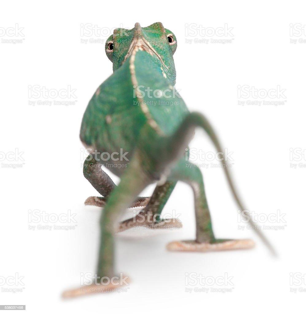 Rear view of Young veiled chameleon, Chamaeleo calyptratus, stock photo