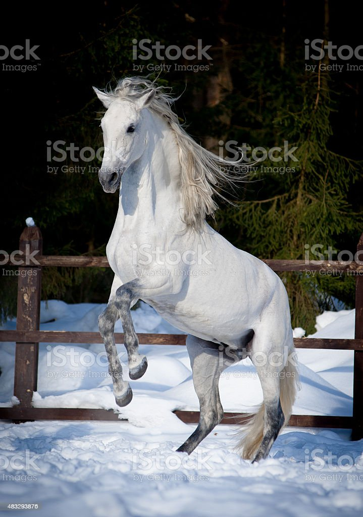 rearing andalusian horse win winter stock photo