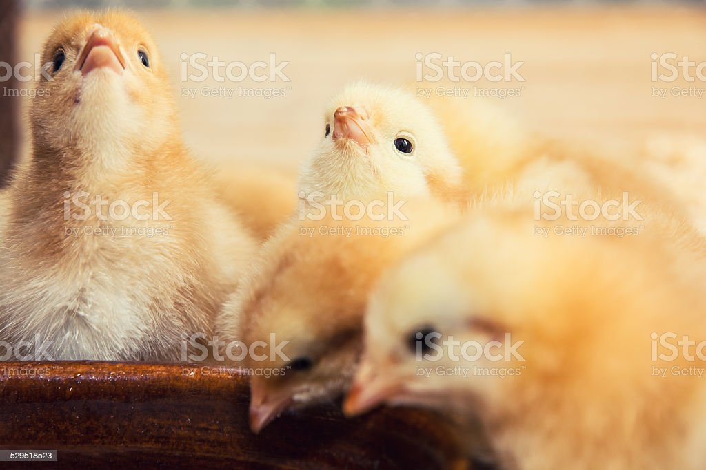 Rearing small yellow chicks stock photo