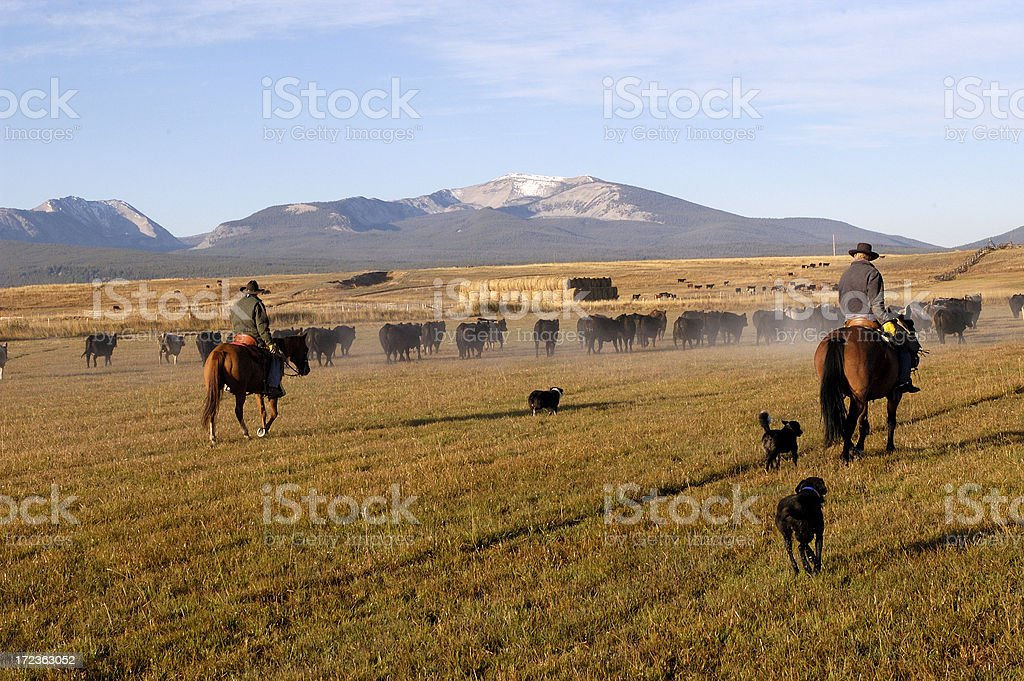 Rearview Cattle Drive royalty-free stock photo