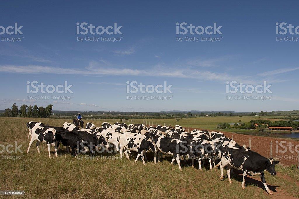 Rebanho de vacas stock photo