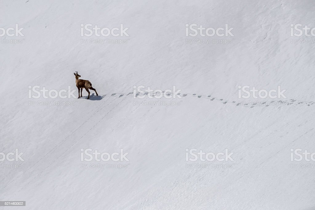 Rebeco chamois in the snow stock photo