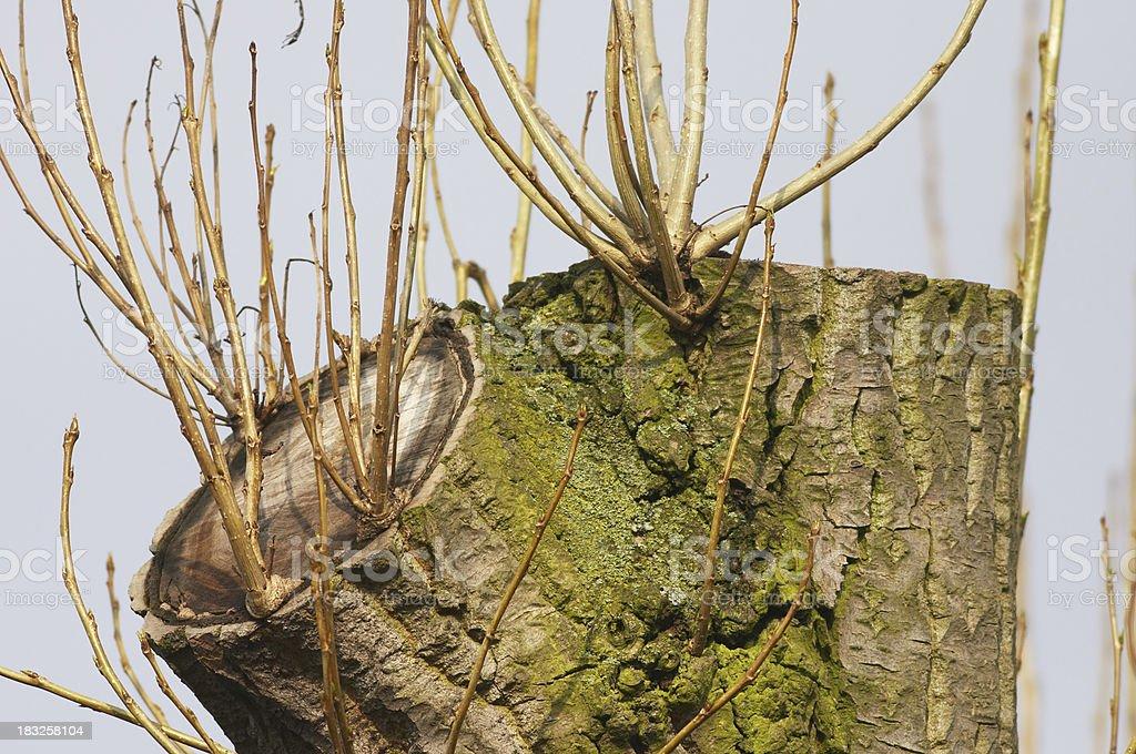 Rebirth cutback tree grows again royalty-free stock photo