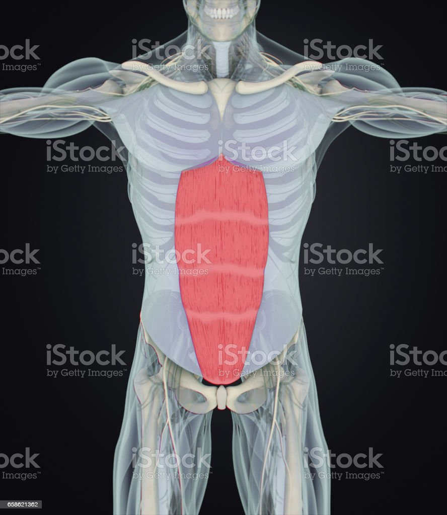 Rectus Abdominus Stomach Muscles Human Anatomy 3d Illustration ...