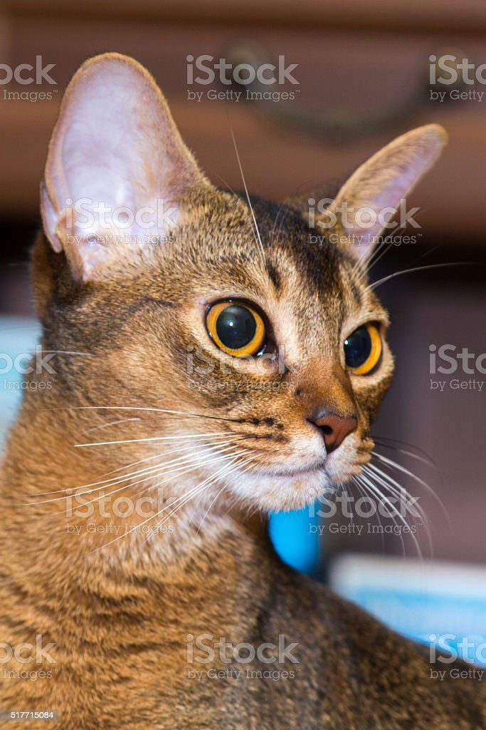 red Abyssinian cat face stock photo