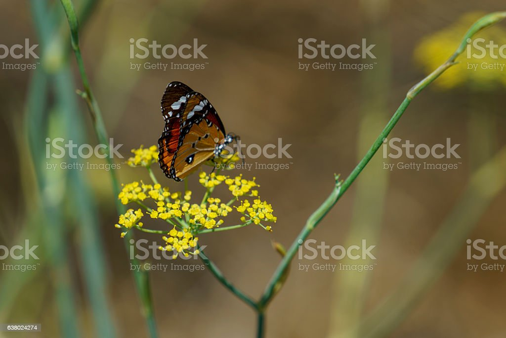 Red Admiral butterfly collecting nectar stock photo