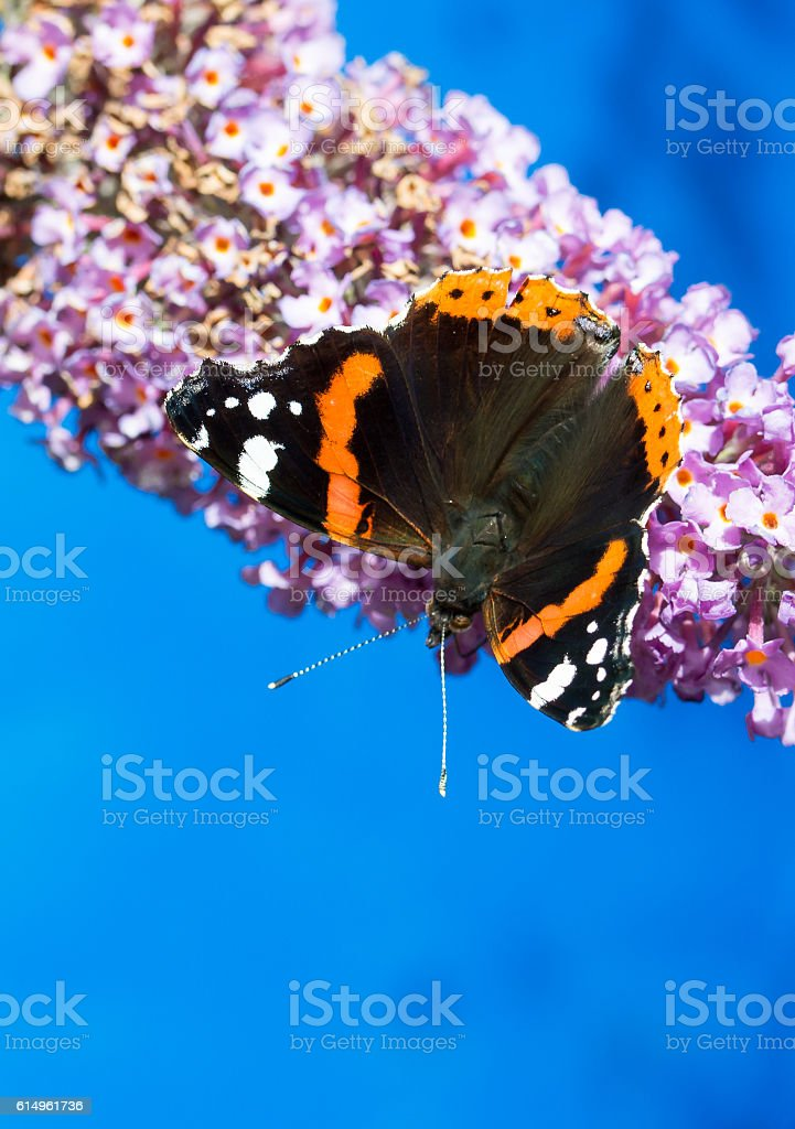Red Admiral butterfly feeding on a Buddleia flower. stock photo