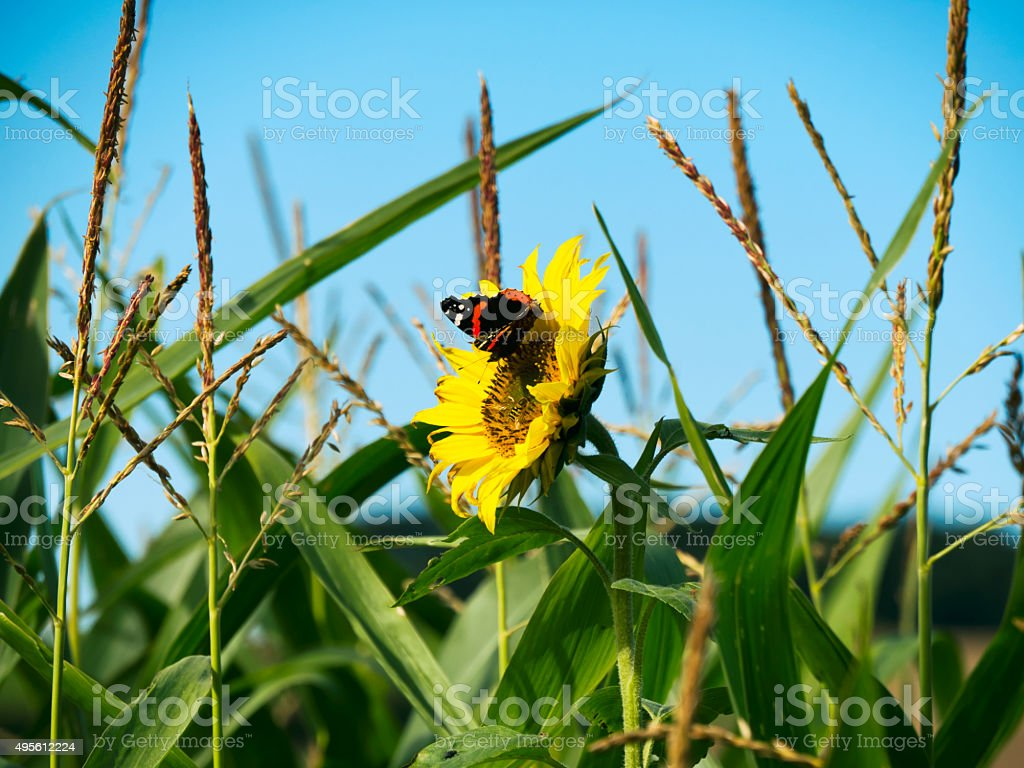 Red Admiral butterfly on a sunflower stock photo