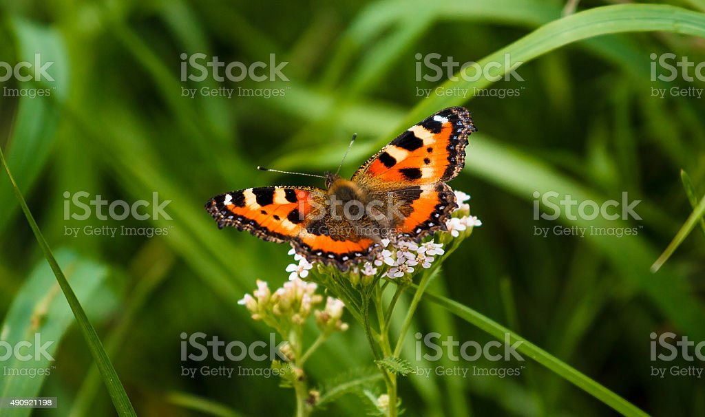 Red Admiral butterfly on grass stock photo