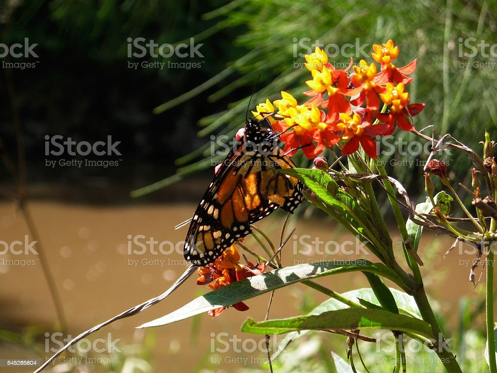 Red Admiral Butterfly on Orange Flowers stock photo