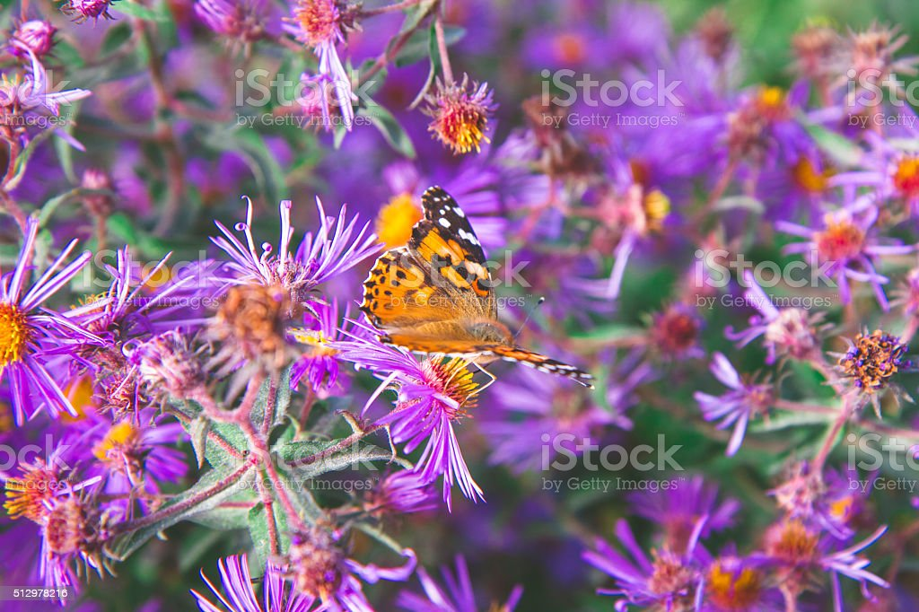 Red Admiral Butterfly On Purple Stem Asters. Symphyotrichum puni stock photo