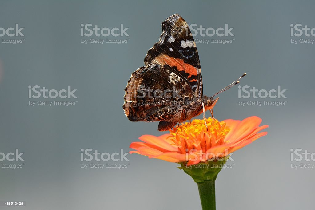 Red admiral butterfly orange zinnia stock photo