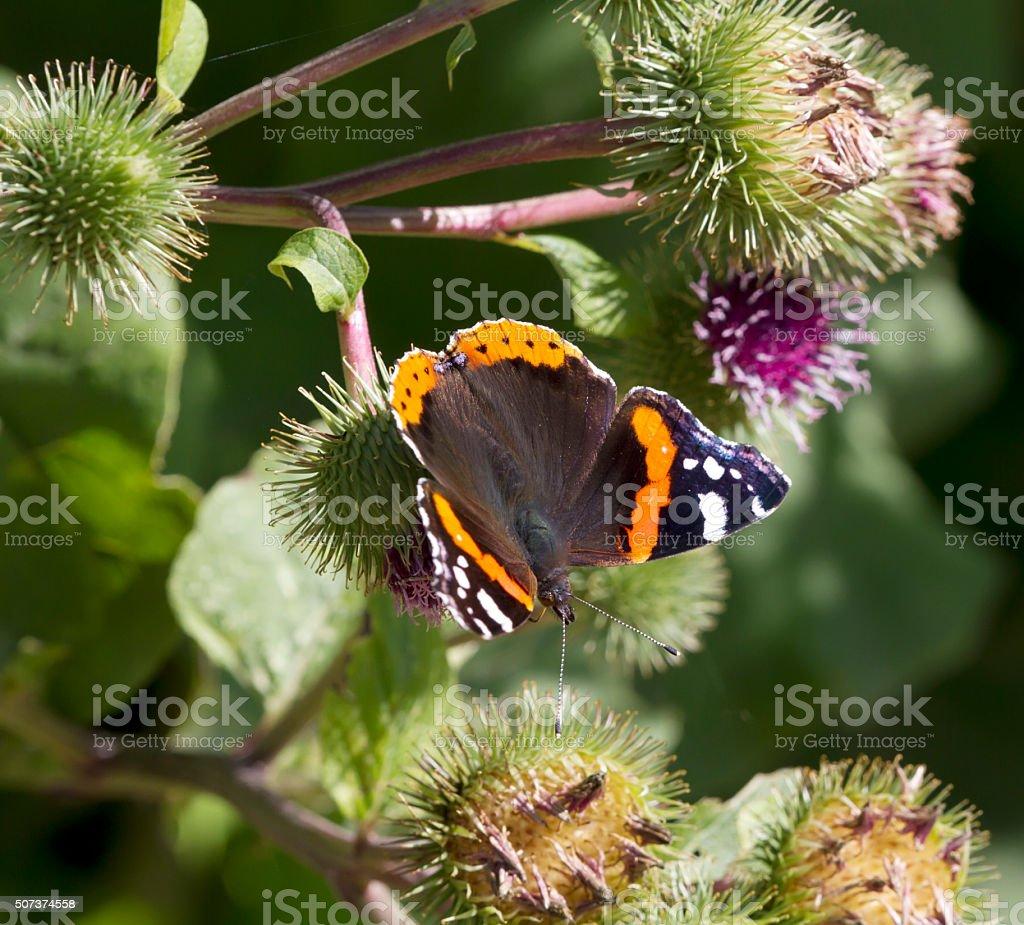 Red Admiral Butterfly (Vanessa atalanta) stock photo