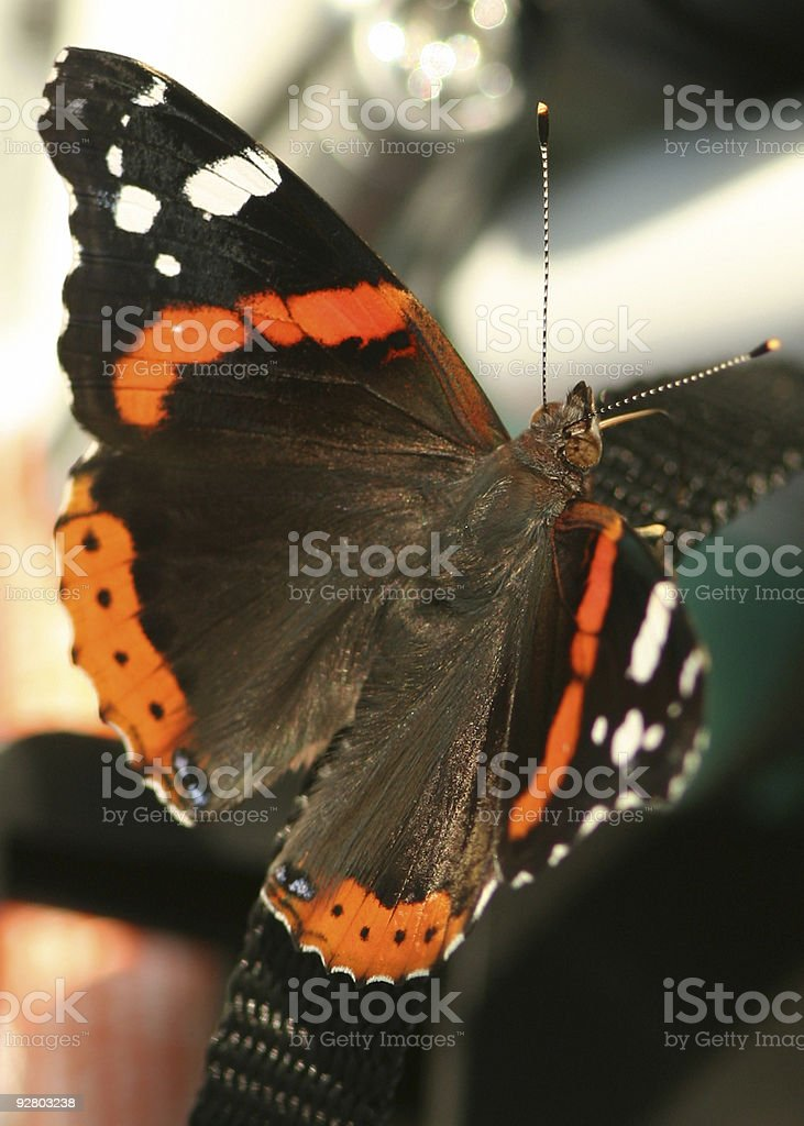 Red Admiral Closeup royalty-free stock photo