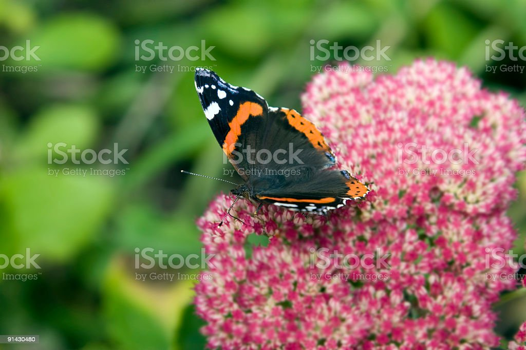 Red Admiral Feeding royalty-free stock photo