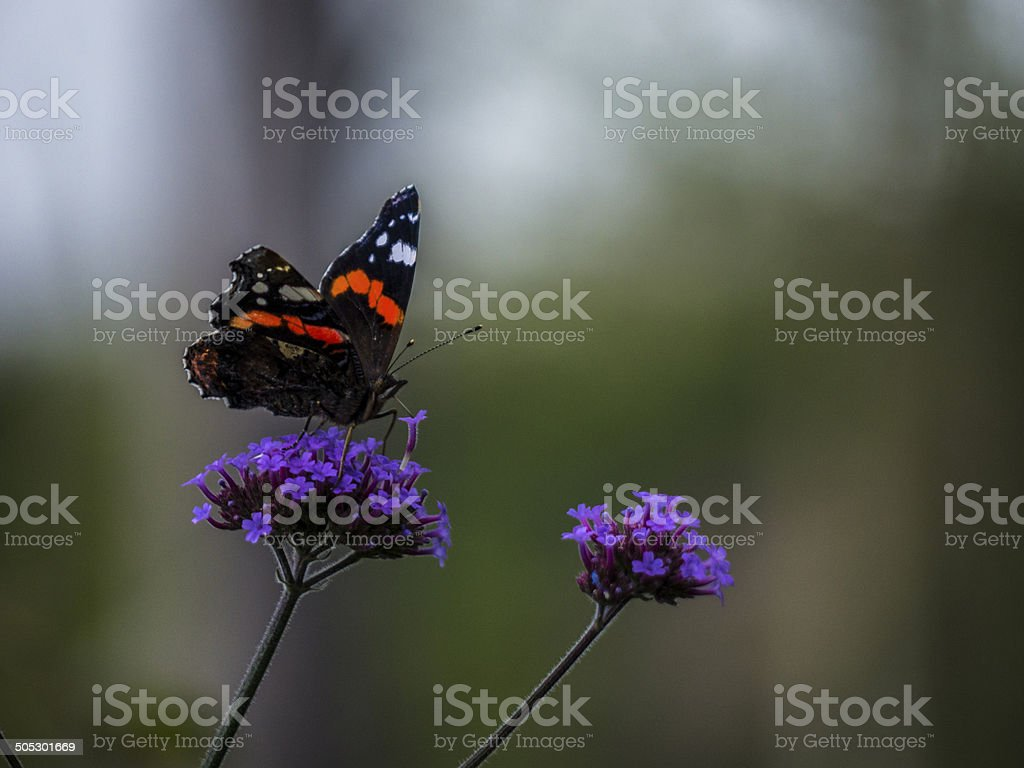 Red Admiral nectaring royalty-free stock photo